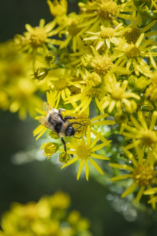 Photo of bee landed on yellow common ragwort flower