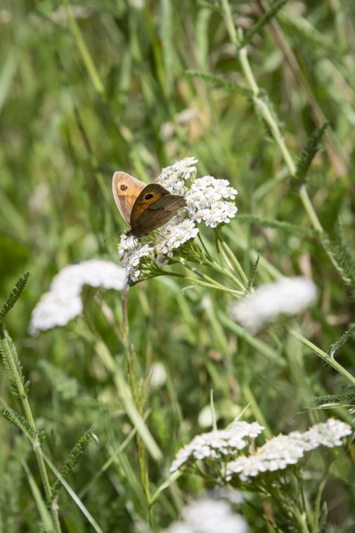 Photo of Meadow Brown Butterfly on cow white parsley
